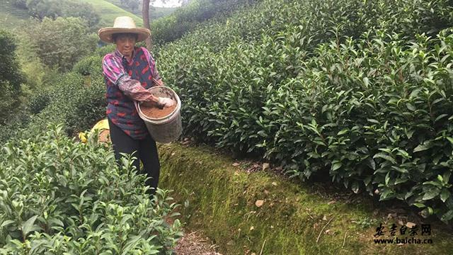 安吉白茶种植 安吉白茶育苗 安吉白茶园