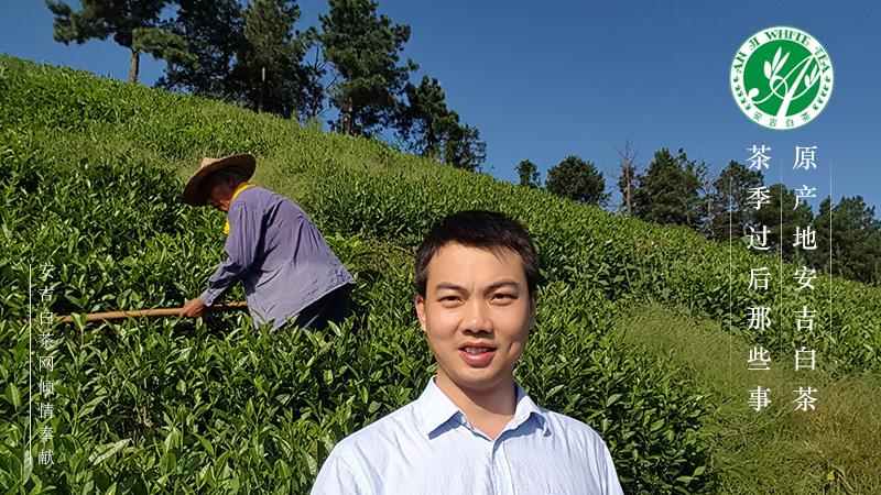 安吉白茶 白茶园 白茶种植 安吉白茶园 天使贡茗安吉白茶 吟诗安吉白茶 安吉旅游
