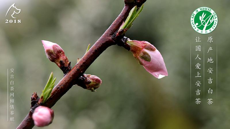 桃花的生长步骤