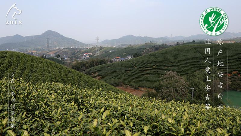 2018安吉白茶|安吉白茶新茶上市