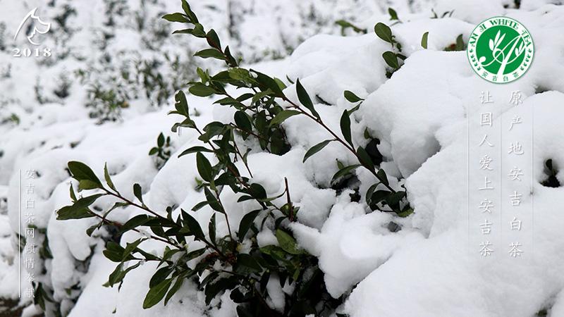 安吉白茶园 安吉白茶茶园雪景